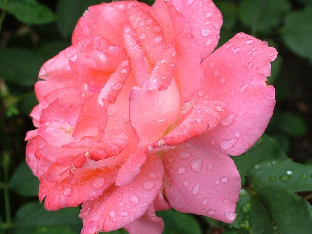 aromatherapie in der schwangerschaft rose